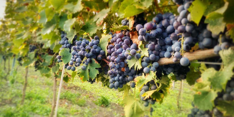 nero-di-troia-vino-bio-puglia1